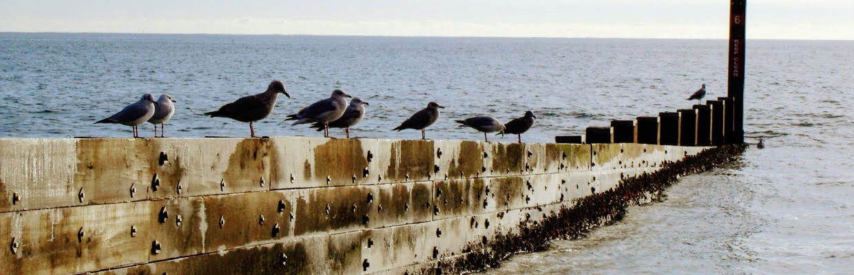 Gulls sat on a groyne at bournemouth beach facing the sun. Nearest two are Black-headed Gulls, rest are adult and immature Herring Gulls